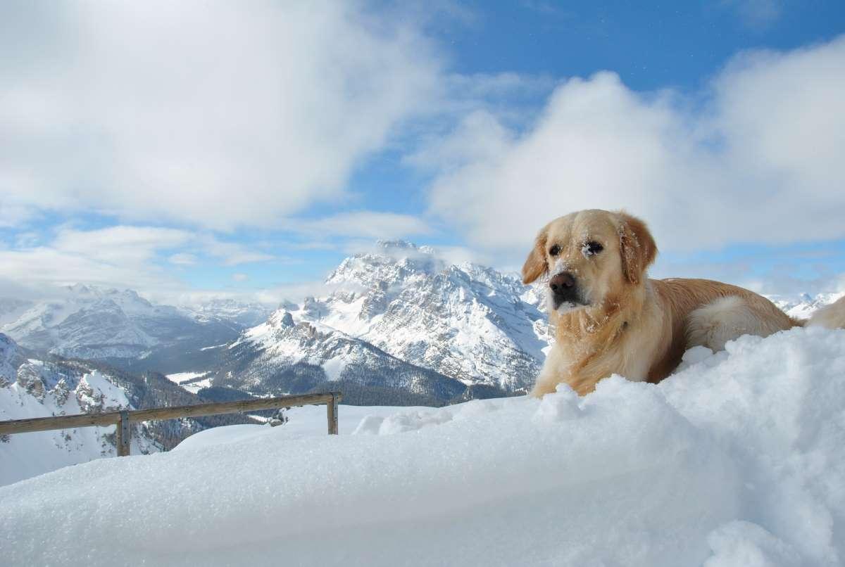 cane golden retriever sulla neve
